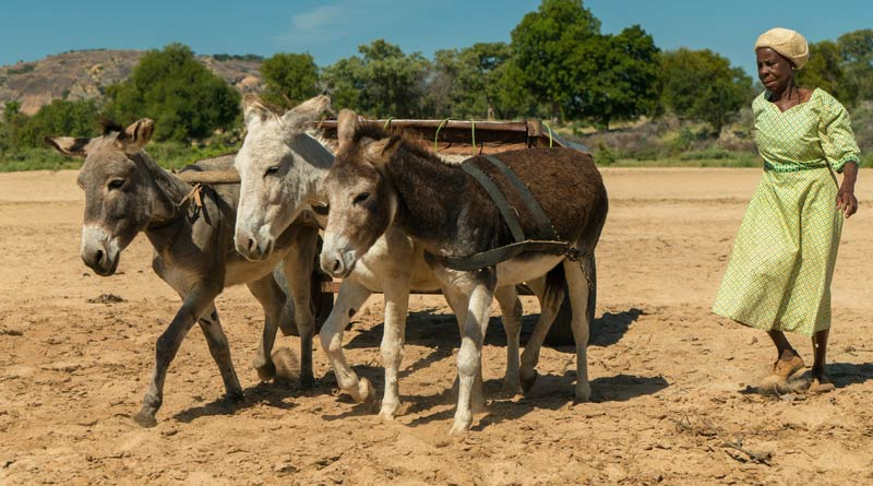 Donkeys at work with their owner in Zimbabwe.