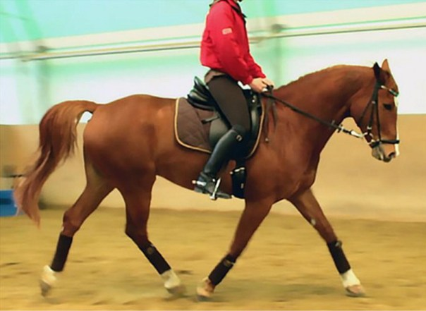 The caput together with neckposition during the unridden examination Dressage horses opt for lower rein tensions than those used yesteryear their riders – study