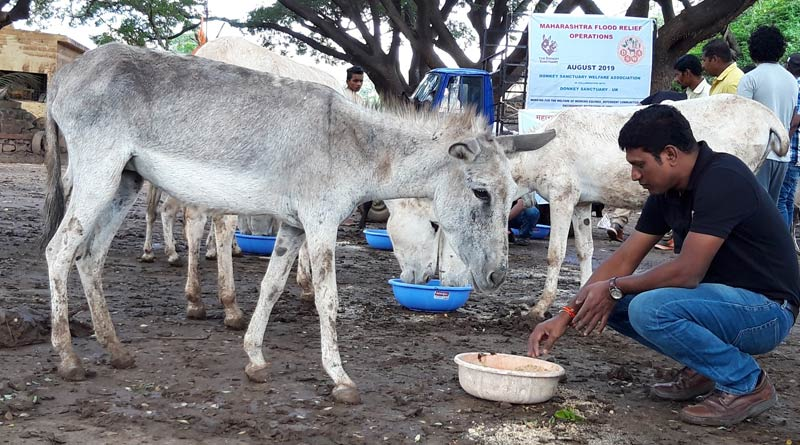 Many hundreds of donkeys have been displaced because of flooding in India. Here, a worker helps feed donkeys at the Vishnughat site.