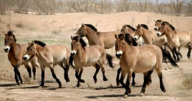 Przewalski's horses owe their survival to conservation efforts in recent decades – study