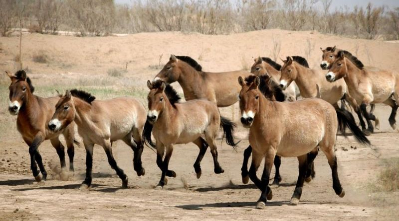Przewalski's horses were released into the Dunhuang West Lake Nature Reserve from the Wuwei Endangered Species Breeding Centre.