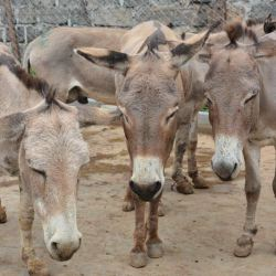Donkeys who have been caught up in the skin trade await their fate. © The Donkey Sanctuary
