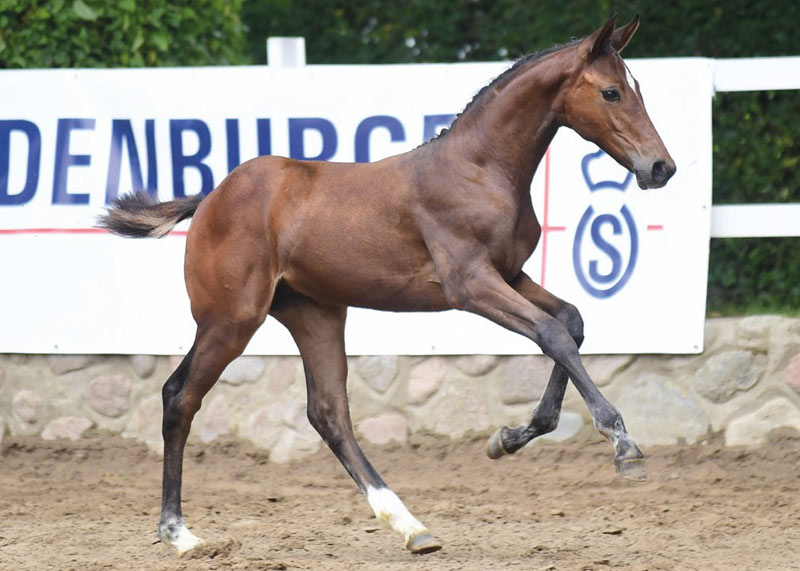 Jumping bred foal Temptation fetched €32,000 at the 18th Elite Foal Auction in the Oldenburg Horse Center in Vechta at the weekend.