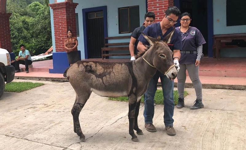 Freedom: Vets check out the stallion after he was freed from his jail in Oaxaca.