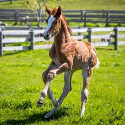 Sienna is New Zealand's first foal produced by intracytoplasmic sperm injection (ICSI). © Anna Rattray/Cheleken Photography
