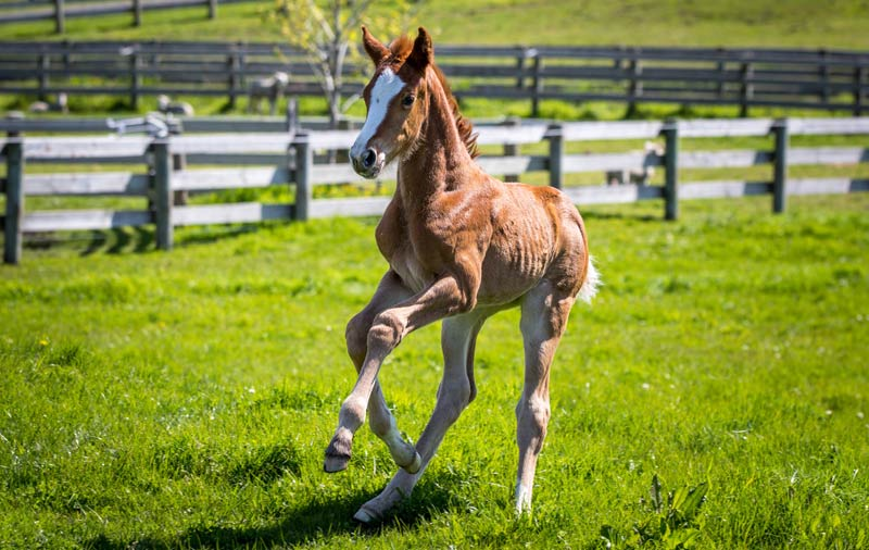 Sienna is New Zealand's first foal produced by intracytoplasmic sperm injection (ICSI).