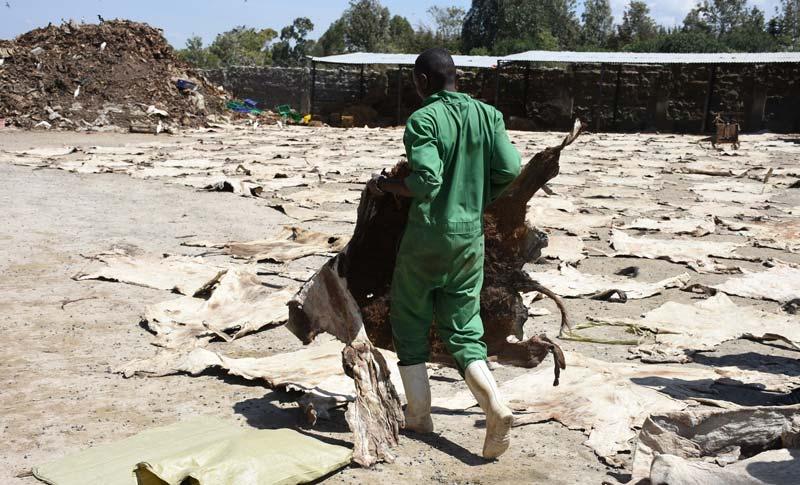 Dried donkey skins in Kenya.