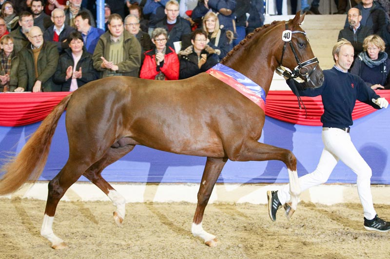 €660,000 secured the Verband der Züchter des Oldenburger Pferdes (OL) champion stallion at auction in Germany at the weekend.