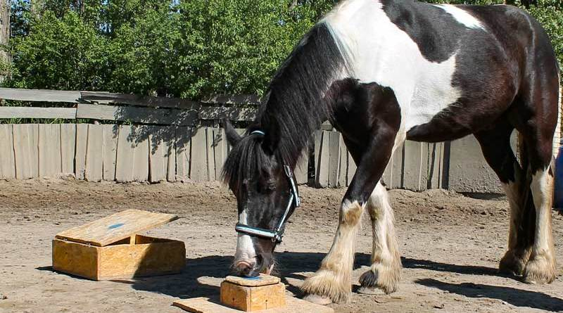 A horse opening a box after observing a human.