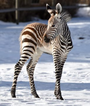 Calgary Zoo's new Hartmann's mountain zebra foal, who was born on December 1, 2019.