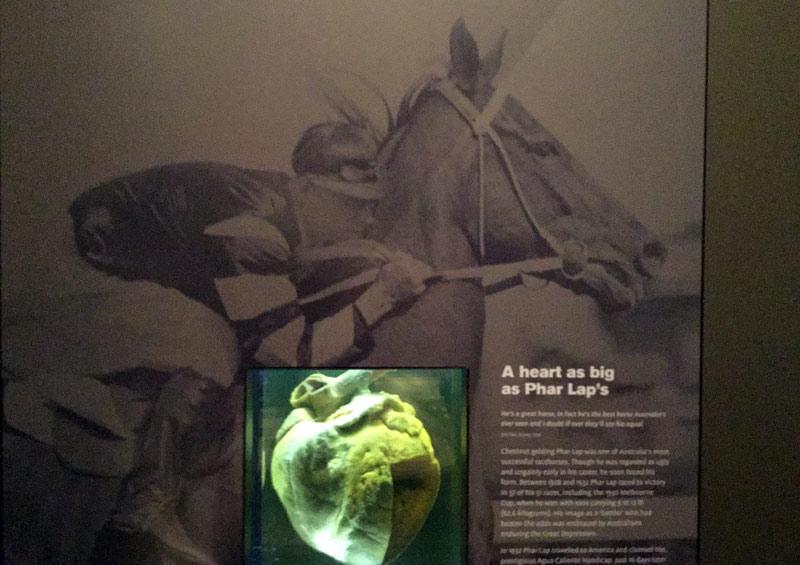 Phar Lap's heart on display in Canberra, Australia.