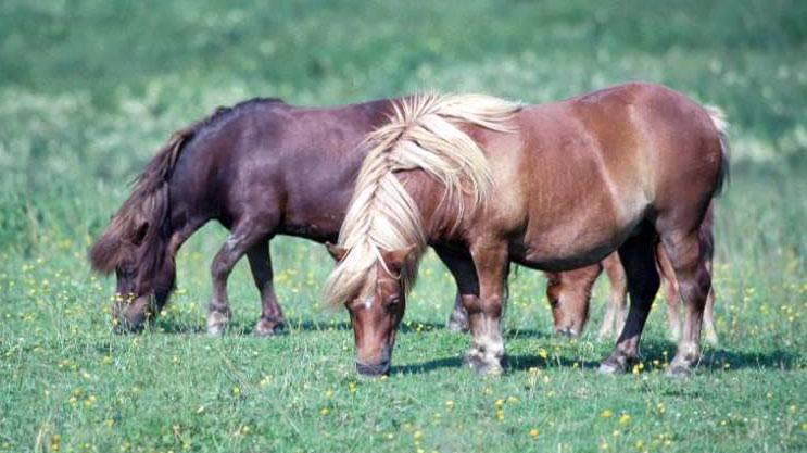 A research team at the University of Kentucky is working on a study to learn if additional starch or sugar in a horse's diet is the main driver for the insulin response seen in Equine Metabolic Syndrome (EMS).