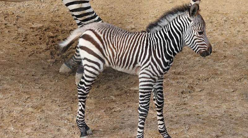 Malawa is the first Hartmann's mountain zebra born at Dallas Zoo.
