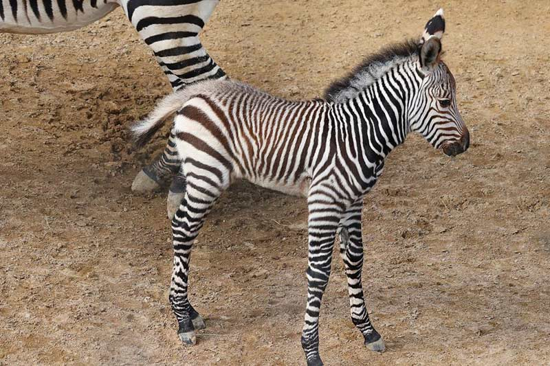 Malawa is the first Hartmann's mountain zebra born at Dallas Zoo.