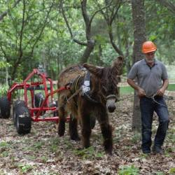 A donkey is hitched to a forecart, together with a front log hauler and a rear logging arch, used to move logs. This system allows logs to be suspended, reducing the friction and the effort made by the animals. The animal is wearing a full collar, especially designed for donkeys. © Andrew Judge / The Donkey Sanctuary.