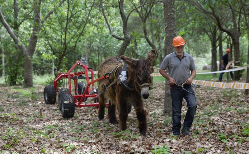 A donkey is hitched to a forecart, together with a front log hauler and a rear logging arch, used to move logs. This system allows logs to be suspended, reducing the friction and the effort made by the animals. The animal is wearing a full collar, especially designed for donkeys.