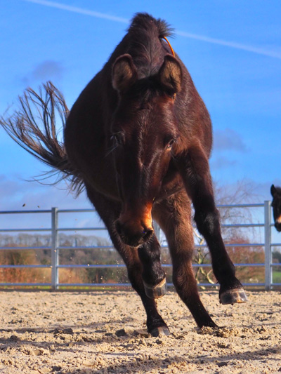Seven-year-old Martha the mule is pictured jumping for joy on a new sand exercise facility at The Donkey Sanctuary.