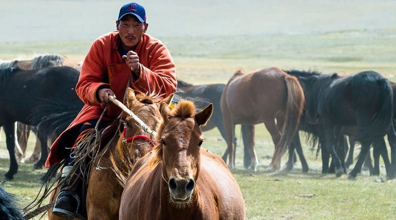 Pastoral herding is still a key way of life in Mongolia, and horses are important as both livestock and transportation.