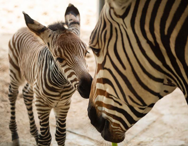 Prima's colt was born on January 21.