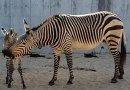 US zoo welcomes rare zebra filly foal