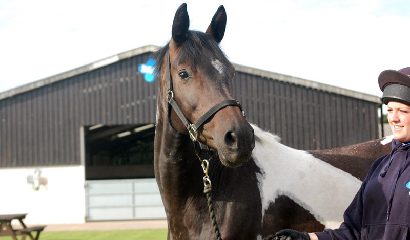Belle is among the horses ready to be rehomed from the Blue Cross. She's a rising 12-year-old warmblood-hunter cross.