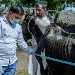 An animal health practitioner at work in India. © Atul Loke/Panos Pictures/Brooke