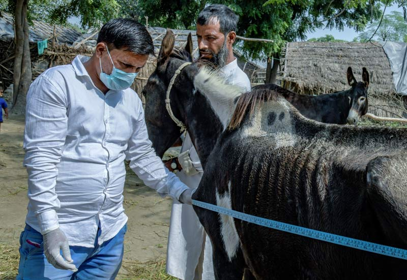 An animal health practitioner at work in India.