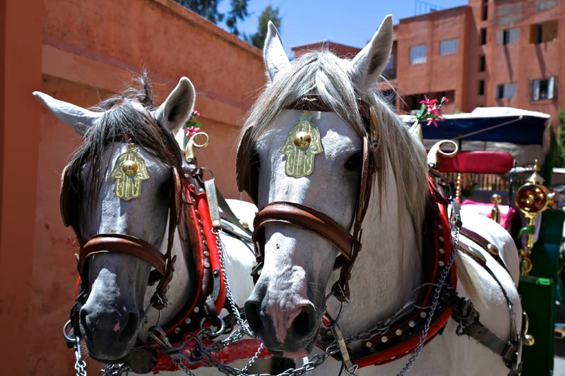 Caleche horses in Marrakech, who transport holidaymakers around the bustling medina.
