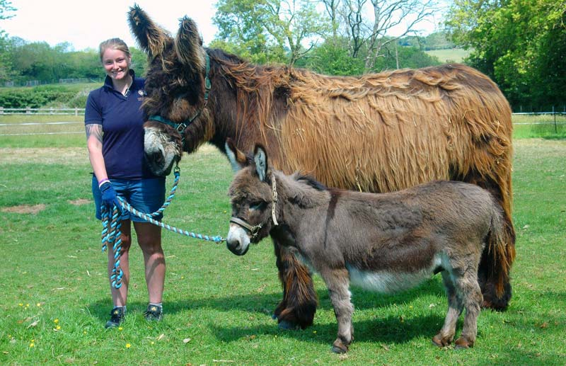 Two of the recently surrendered donkeys with groom Rachel Hill.