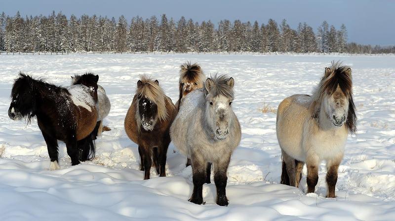 Yakutian horses in winter.