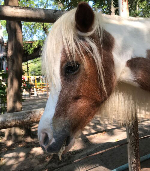 A pony suffering from African horse sickness. The disease has a 95% mortality rate.
