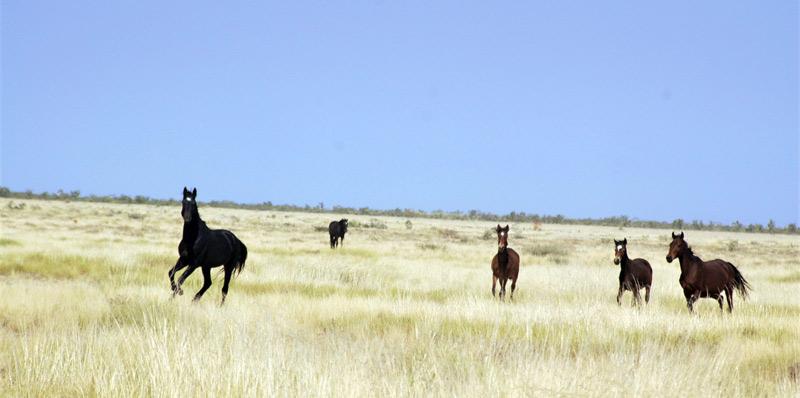 Brumbies from Lake Gregory in Western Australia.