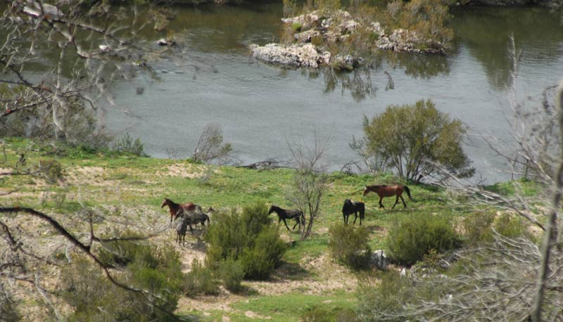 A brumby family by the Snowy River.