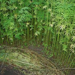 Industrial hemp has thousands of uses. Photo: kat_geb, CC BY via Wikimedia Common