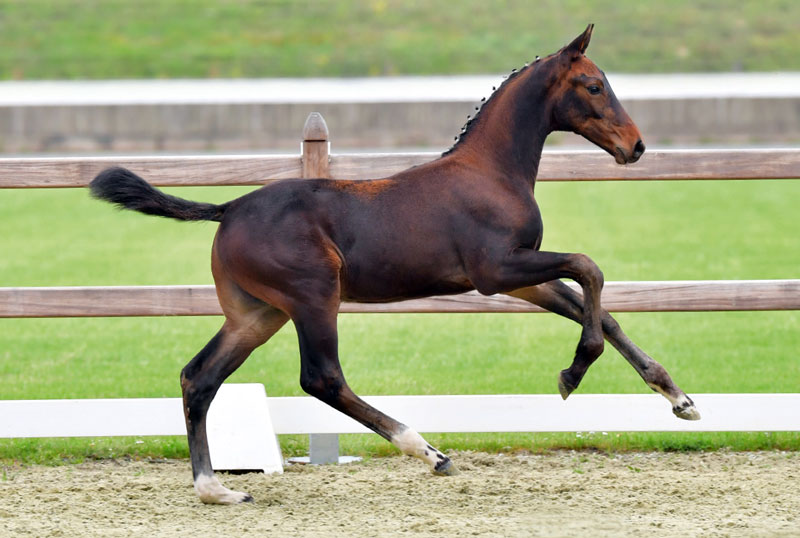 Cornet van't Roosakker sold to Switzerland for €26,000 at the 2nd Oldenburg Online Elite Foal Auction in Germany.