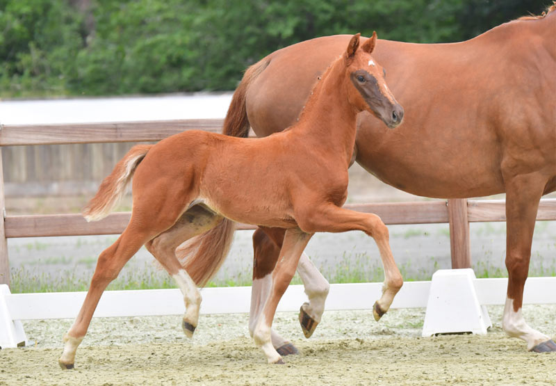 Elitär topped the 2nd Oldenburg Online Elite Foal Auction at the weekend, selling to Denmark for €81,000.