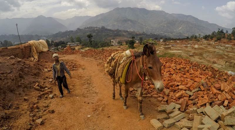A working mule in Nepal.