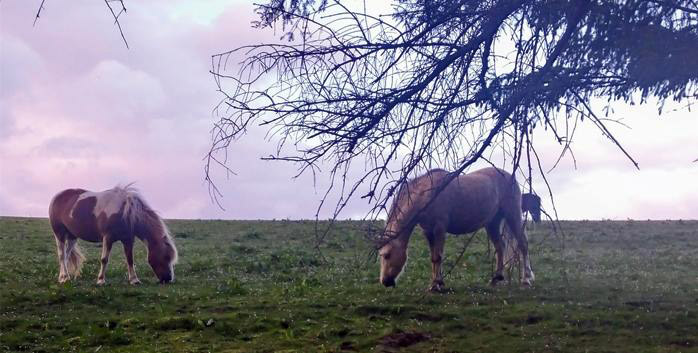 A study on pasture-associated laminitis (PAL) on native breed ponies is under way in Scotland.
