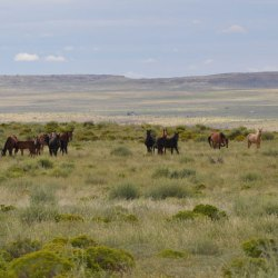 Horses in the Eastern Navajo Agency of Northwestern New Mexico. © Kevin Kunkel, BLM