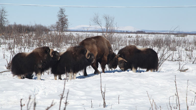 Bison and musk oxen at Pleistocene Park.