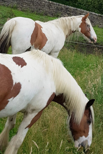 Blue Cross rescue horses Loreal and Micky are together again, in Matlock, Derbyshire.