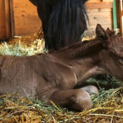Giigwanens is the first foal from the rare Ojibwe Horse breed to be born in Manitoba for many years. © Ken MacDonald