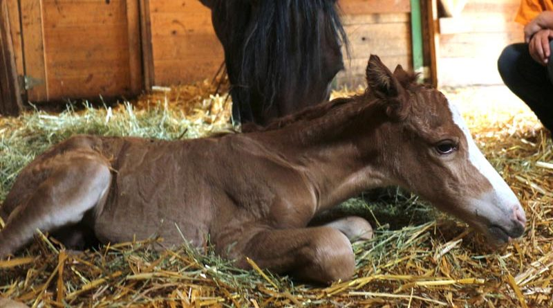 Giigwanens is the first foal from the rare Ojibwe Horse breed to be born in Manitoba for many years.