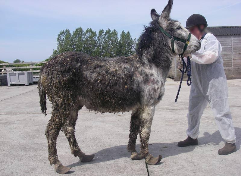 Smokey on arrival at The Donkey Sanctuary.