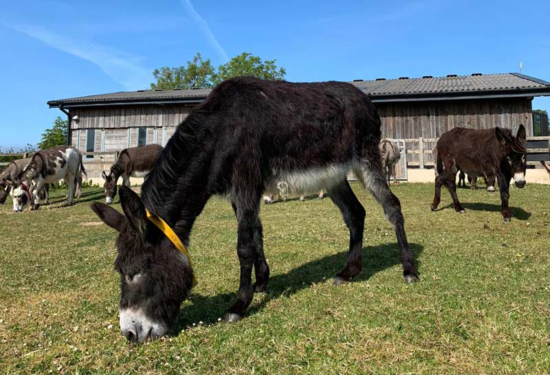 Sophie is now living in a group of younger donkeys.