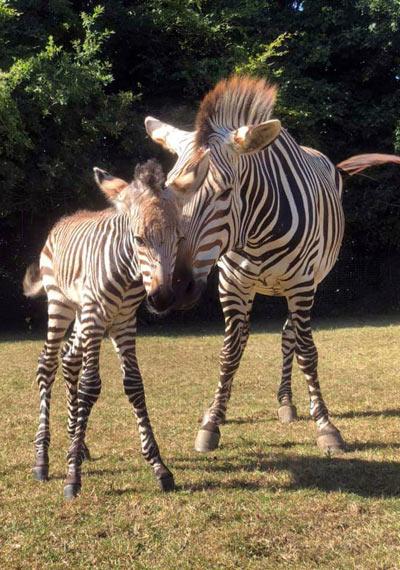 The new Hartmann's Mountain Zebra foal.