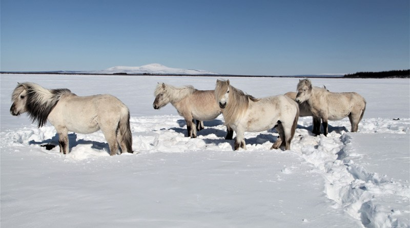Yakutian horses are native to the area and are semi-wild. They are the main grazers, and the most efficient in finding food in deep snow. Yakutian horses eat only grasses and herbs so they do not play an important role in vegetation shifts.