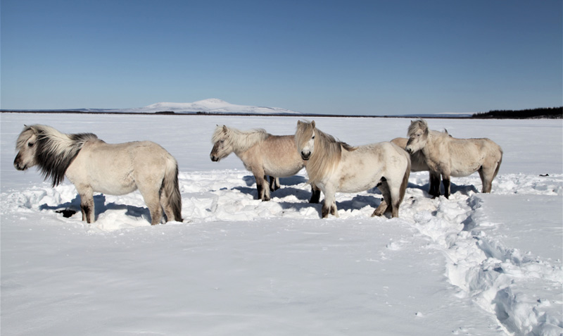 Yakutian horses are the main grazers at Pleistocene Park, and the most efficient in finding food in deep snow.