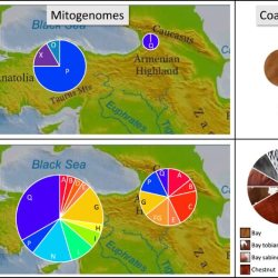 Mitochondrial and coat color diversity before (top) and after (bottom) 2000 BCE. The left side shows the evolution of mitochondrial haplotype diversity of horses in Anatolia and the southern Caucasus. At right shows the evolution of coat color genetic diversity in these two geographic regions in the same time ranges. The area of the circles is proportional to the number of individuals present in each category.
