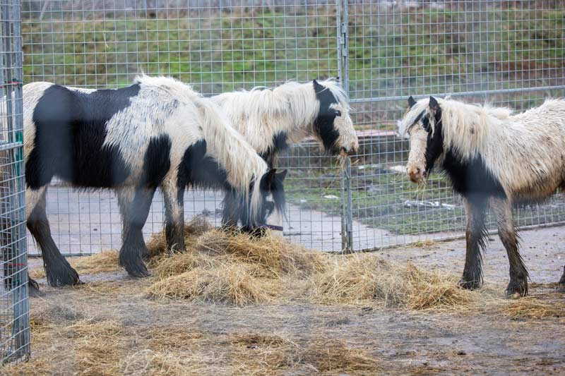 Before they were taken from the site, World Horse Welfare and concerned locals provided the horses with hay.